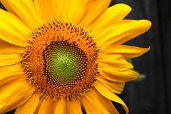 Free Sunflower Stock Image - 3009991