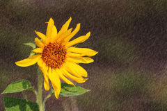 Free Sunflower Royalty Free Stock Image - 30231496