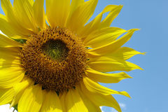 Sunflower. Reaching for the sun Stock Images