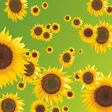 Sunflower. A lot of sunflower are placing in front of green field as a pattern Stock Images
