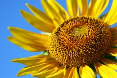 Sunflower. On a background of the dark blue sky Stock Image