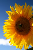 Sunflower. Cloudy sky, selective focus Royalty Free Stock Photo