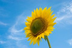 Sunflower. In blue sky, summer Royalty Free Stock Photos