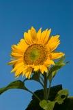 Sunflower. In blue sky, summer Stock Image