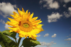 Sunflower. Yellow sunflower with blue sky Royalty Free Stock Images
