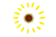Sunflower. Abstract sunflower isolated on white Royalty Free Stock Photo