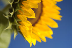 Sunflower. Yellow sunflower against blue background, shallow focus on petals in foreground Royalty Free Stock Photography