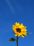 Sunflower. On blue background stock photography
