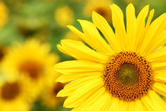 Sunflower. A field of yellow sunflowers royalty free stock image