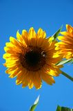 Sunflower. With bumblebee Royalty Free Stock Images