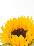 Sunflower. Close-up of a sunflower on a white background stock images