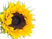 Sunflower. Close-up of a sunflower on a white background royalty free stock images
