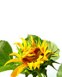 Sunflower. A blooming sunflower, white background Stock Image