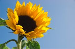 Sunflower. Yellow Sunflower against blue sky Royalty Free Stock Photography