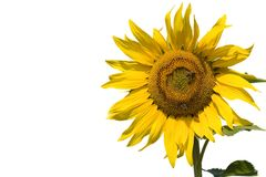 Sunflower. Series Stock Photography