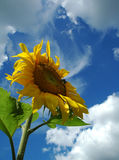 The sunflower. Royalty Free Stock Photos