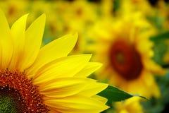 Sunflower. Fields in Furano, Japan Stock Photo