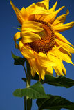 Sunflower. Shaking of yellow sunflower on the wind royalty free stock image