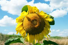 The sunflower. On blue sky and white clouds at background Royalty Free Stock Image