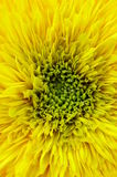 Sunflower. Double and blooming royalty free stock photography