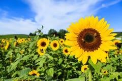 Free Sunflower Royalty Free Stock Photo - 36295765