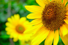 Sunflower. With the background of Royalty Free Stock Photography