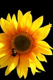 Sunflower. And bee in the sun Royalty Free Stock Images