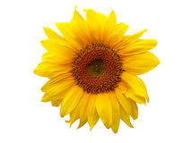 Sunflower. On the white background. Clipping path Stock Image