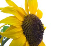 Sunflower. Isolated on white royalty free stock photos
