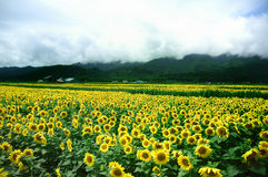 Sunflower. Fields in Furano, Japan Stock Images