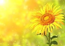 Sunflower. Bright yellow sunflower and sun Stock Photo