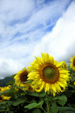 Sunflower. Fields in Furano, Japan Royalty Free Stock Photo