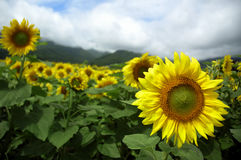 Sunflower. Fields in Furano, Japan Royalty Free Stock Photos