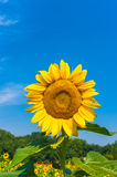 Sunflower. Photo is positive, relatively close distance, the background is blue sky Royalty Free Stock Images