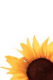 Sunflower. Detail of a sunflower isolated in white background - symbol of sun, summer Royalty Free Stock Image