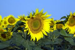 Free Sunflower Stock Photo - 3928640