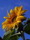Sunflower 4 Stock Photography