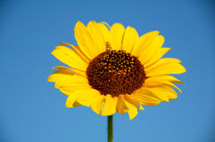 Sunflower. With bright blue sky royalty free stock photo