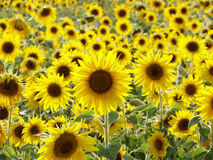 Free Sunflower Stock Photography - 4147562
