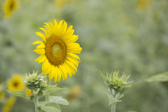Free Sunflower Royalty Free Stock Images - 41803159