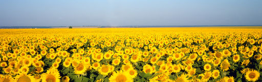 Free Sunflower Royalty Free Stock Image - 4209486
