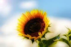 Sunflower. On blue sky background stock photo