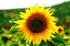 Free Sunflower Royalty Free Stock Images - 4278679