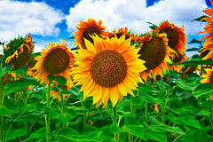 Free Sunflower Stock Images - 42808584