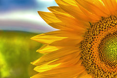 Free Sunflower Royalty Free Stock Image - 43217966
