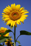 Sunflower. With blue sky in background stock photos
