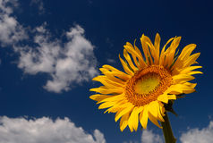 Sunflower. Yellow sunflower in summer time with blue sky and clouds Stock Photo