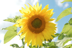 Sunflower. The bright yellow sunflower petals on the background of the sky Royalty Free Stock Photos