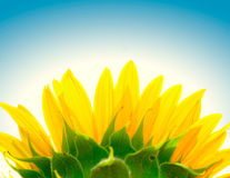Sunflower. And clear blue sky Royalty Free Stock Images