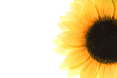 Sunflower. Picture of a Sunflower over white background Royalty Free Stock Image